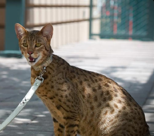 115 best Exotic Domestic Cats images on Pinterest | Kitty ...  |Large Exotic Domestic Cats