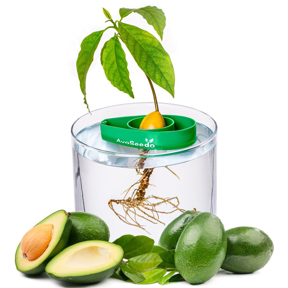 AvoSeedo Grow Your Own Avocado Tree The Green Head