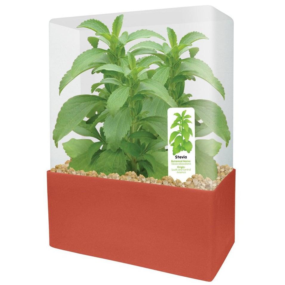 Stevia Rebaudiana Grow Your Own Stevia Kit