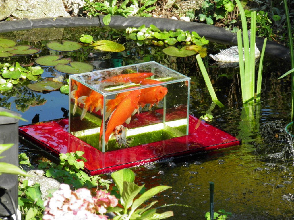 Flying aquarium above the water floating koi goldfish for Koi pool water