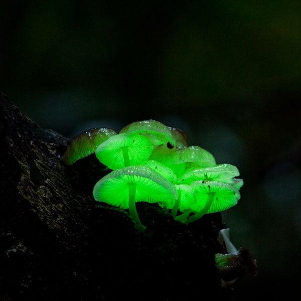 Glow-in-the-Dark Mushrooms Growing Kit