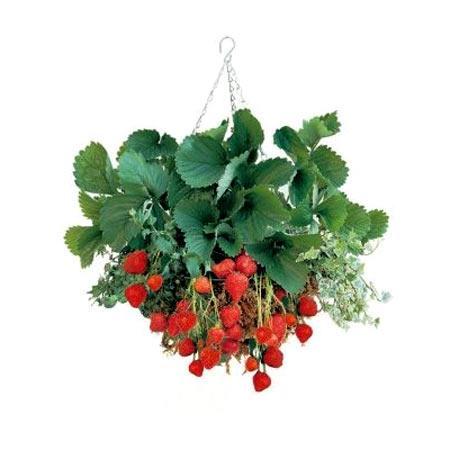 Hanging Strawberry Basket Kit