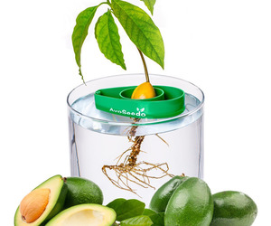 AvoSeedo - Grow Your Own Avocado Tree
