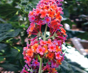 Butterfly Bush Collection - Attract Butterflies, Hummingbirds and More!