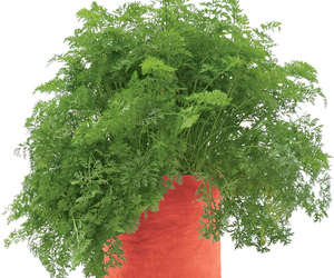 Carrot Grow Bag