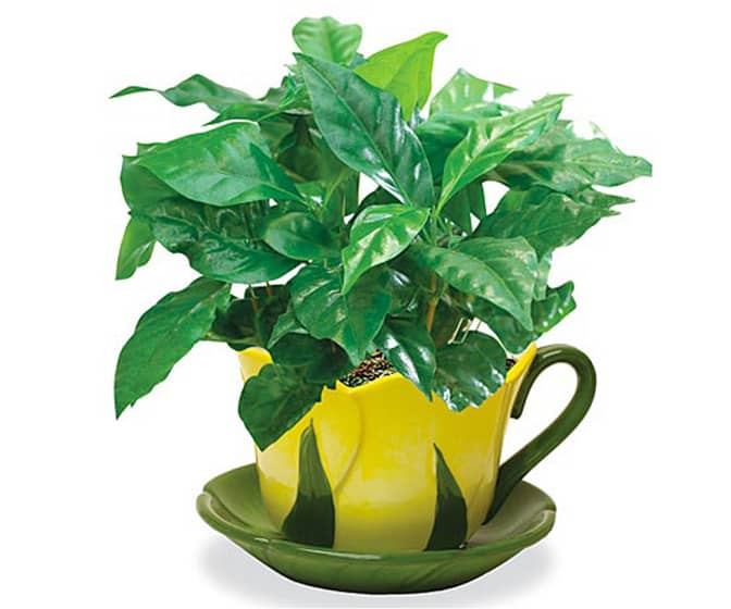 Coffee Plant - Grow Your Own Coffee Beans