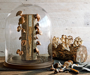 Edible Mushroom Log Glass Cloche - Protects and Showcases