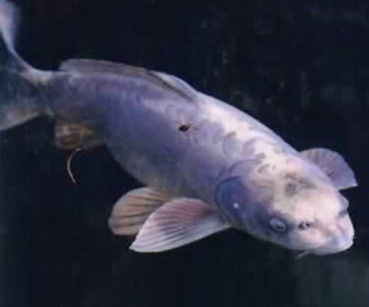 Fish With Human Face - Video & Images