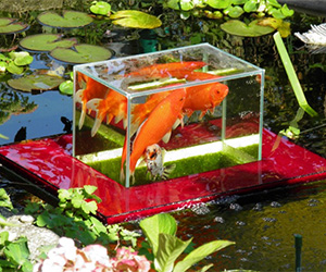 Flying Aquarium - Above The Water Floating Koi / Goldfish Observation Tank