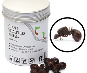 Giant Toasted Leafcutter Ants