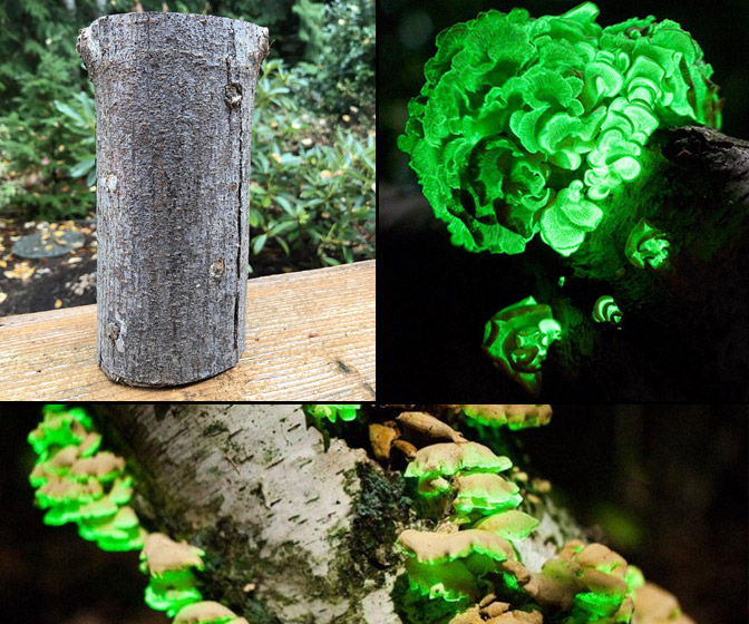 Glow in the Dark Mushroom Log Kit