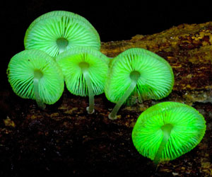 Glow-in-the-Dark Mushrooms Growing Kit