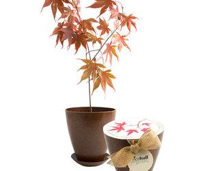 Japanese Maple Tree - Rice Hull Growing Kit