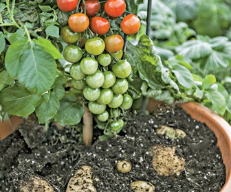 Ketchup 'N' Fries Plant - Grow Tomatoes and Potatoes on a Single Plant