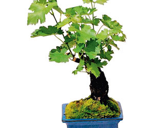Living Grapevine Bonsai With Edible Grapes