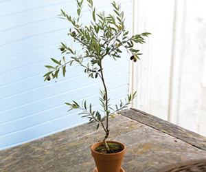 Miniature Tuscan Olive Tree