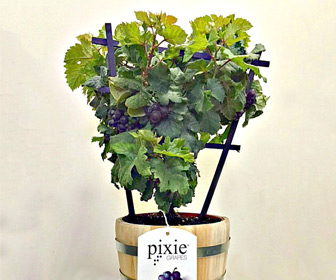 Pixie Grapes - Ornamental and Edible Grapes for the Patio