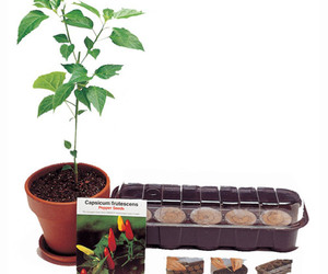 Tabasco Pepper Plant Kit - Grow Your Own!