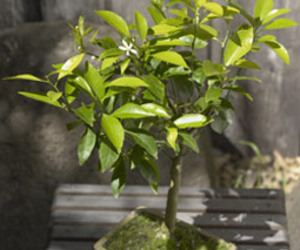 Tangerine Bonsai Tree