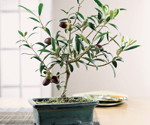 Tuscan Olive Bonsai Tree
