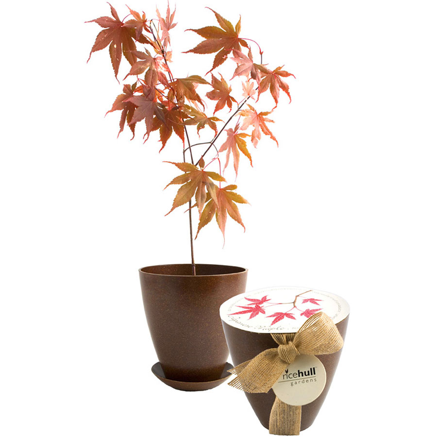 Japanese Maple Tree Rice Hull Growing Kit