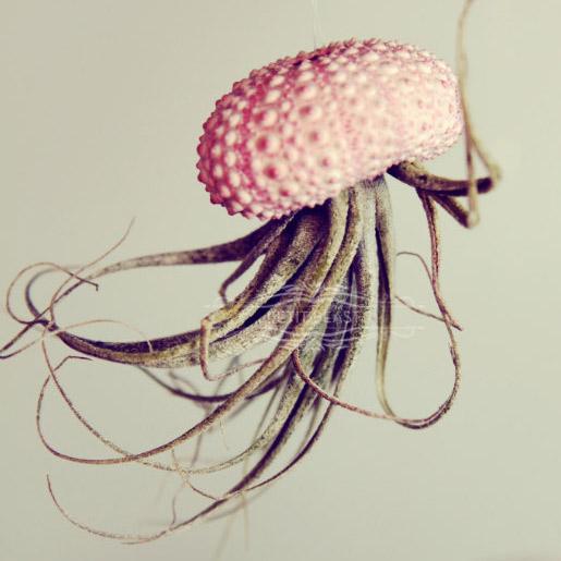 Jellyfish Air Plants The Green Head