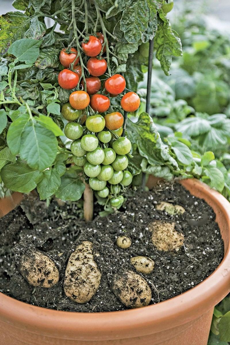 how to start a potato plant