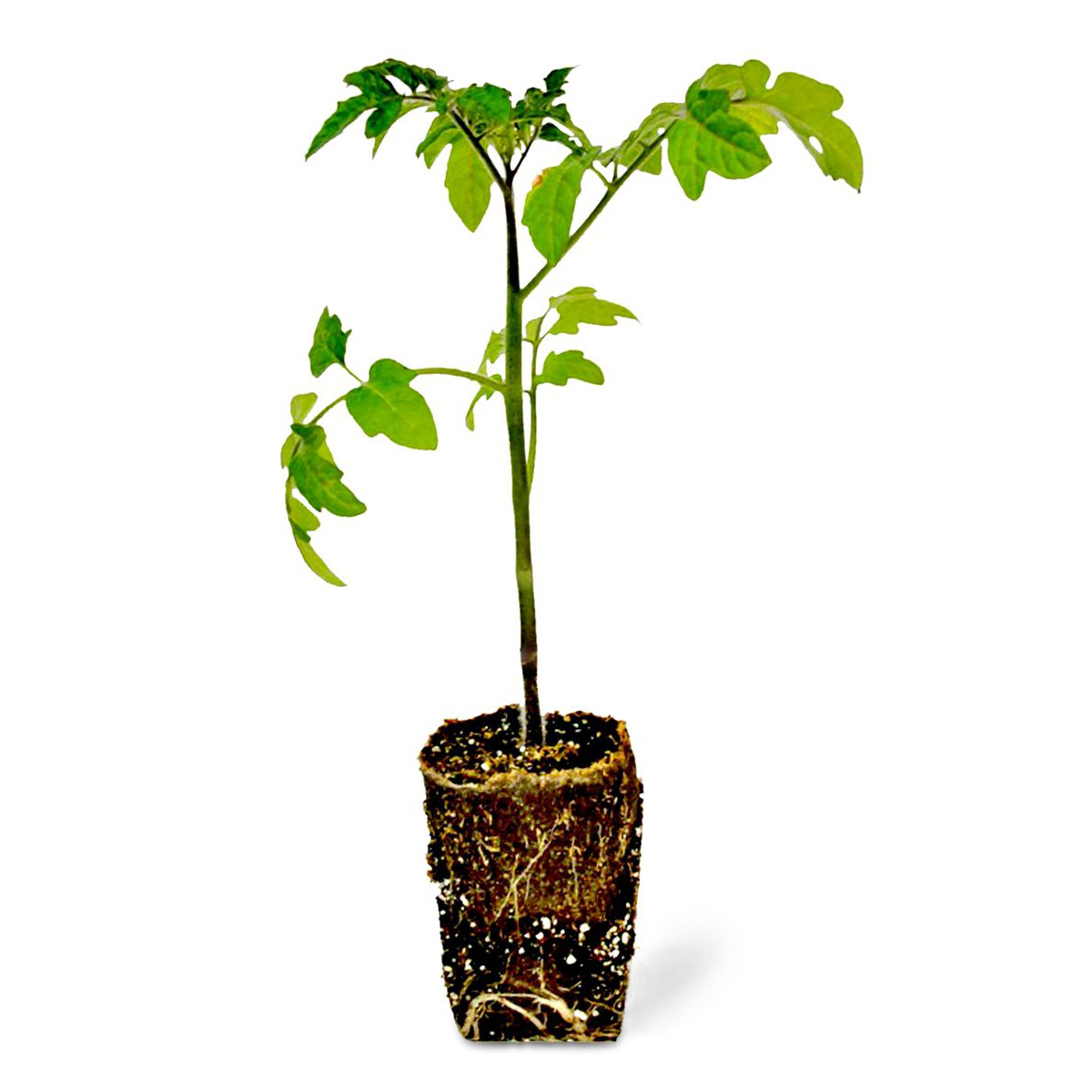 Which Plant Was Native To The New World: Grow Tomatoes And Potatoes On A
