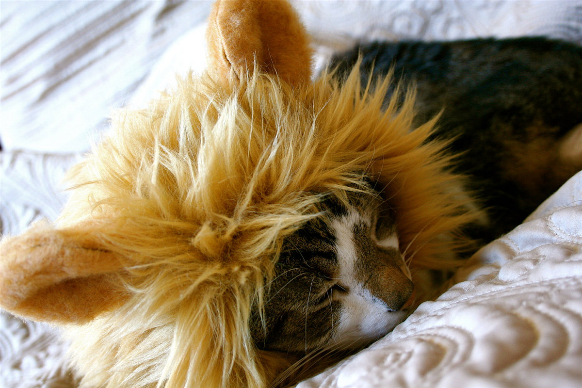 11 cats with manes because they are really lions at heart the green head solutioingenieria Image collections