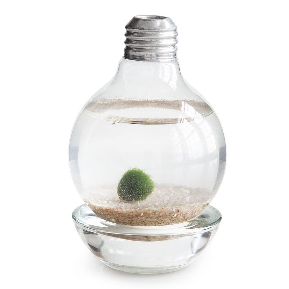 Marimo moss ball light bulb terrarium the green head for Marimo moss ball