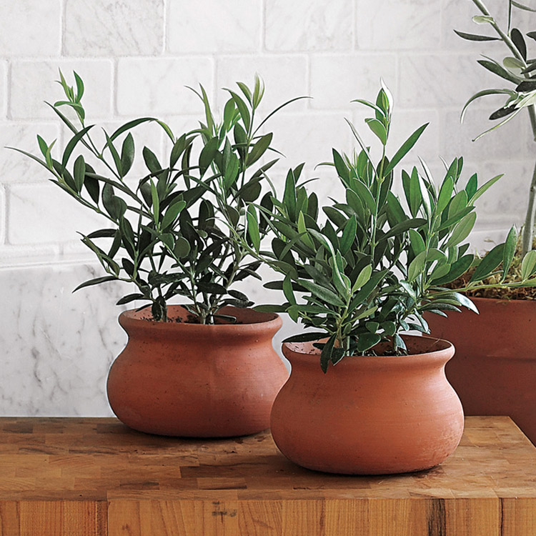 mini european olive trees the green head. Black Bedroom Furniture Sets. Home Design Ideas