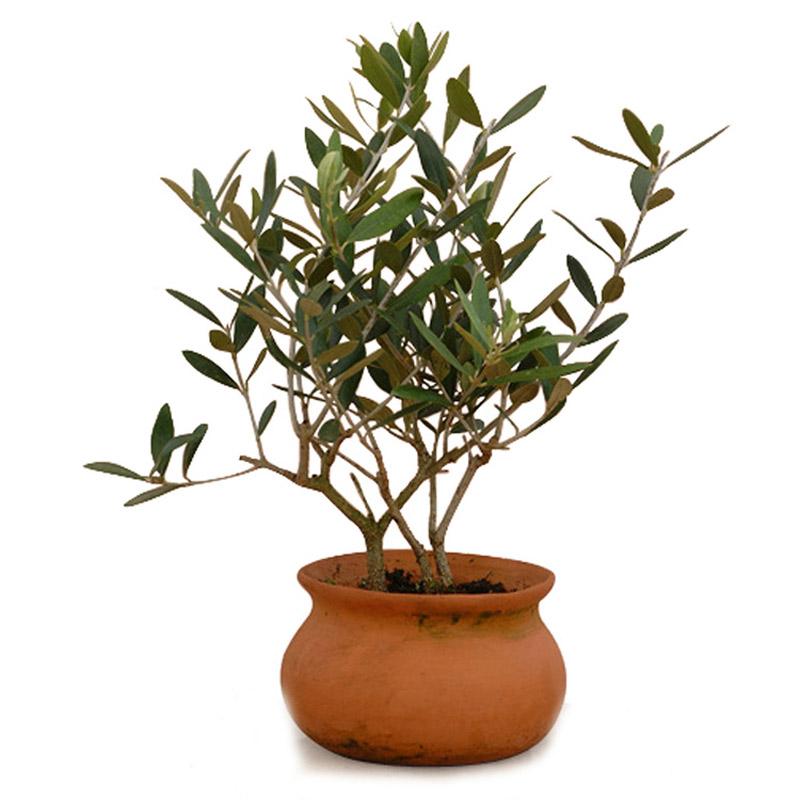 Олива дерево фото домашний цветок бассейны термальной