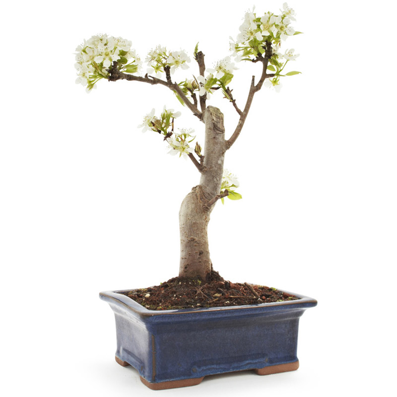 miniature pear bonsai tree the green head. Black Bedroom Furniture Sets. Home Design Ideas