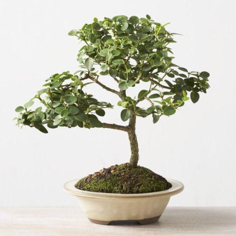 Natal Plum Bonsai Tree Produces Edible Fruit
