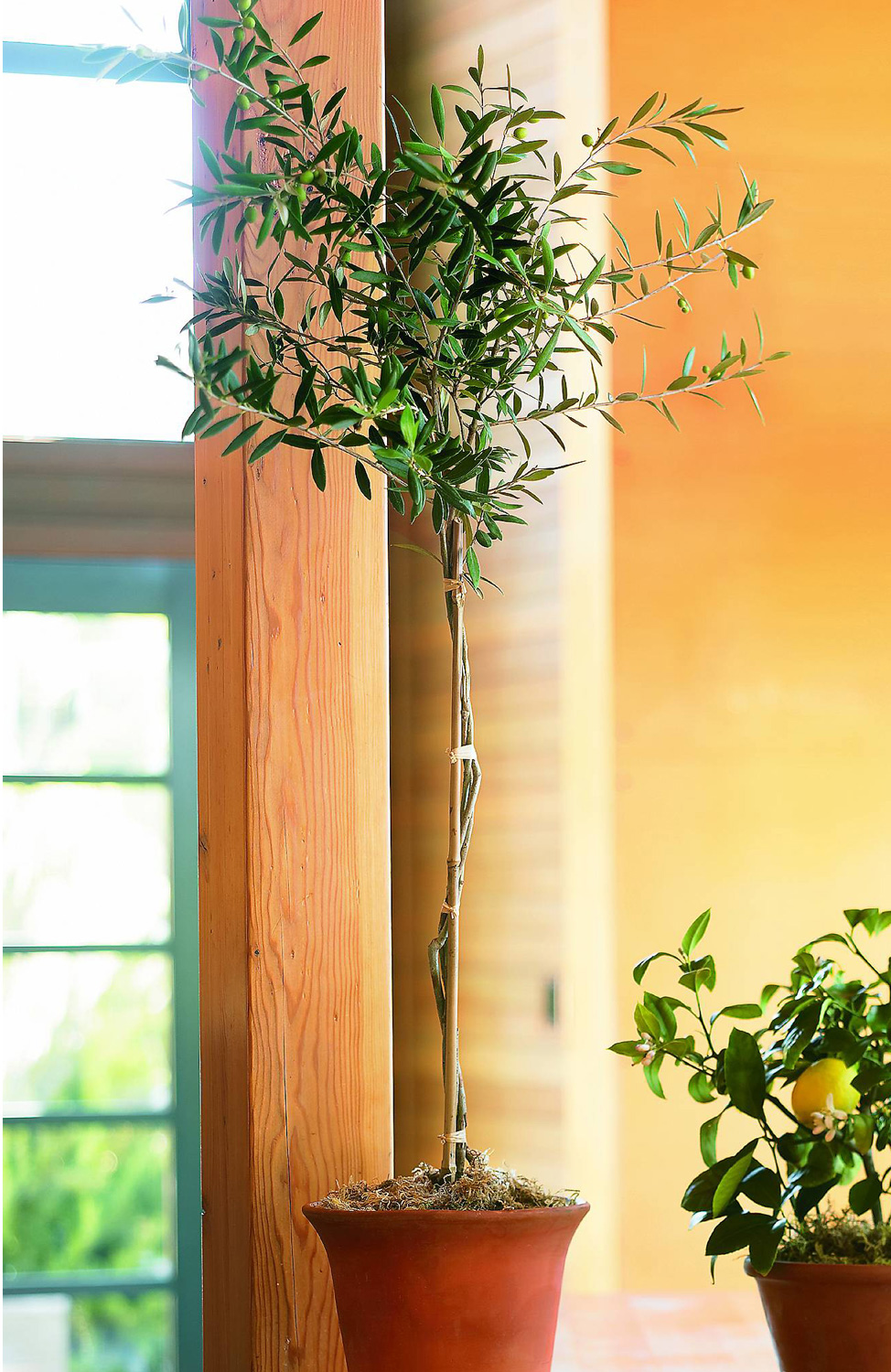 Organic olive tree topiary in root of the earth bowl the for Growing olive tree indoors