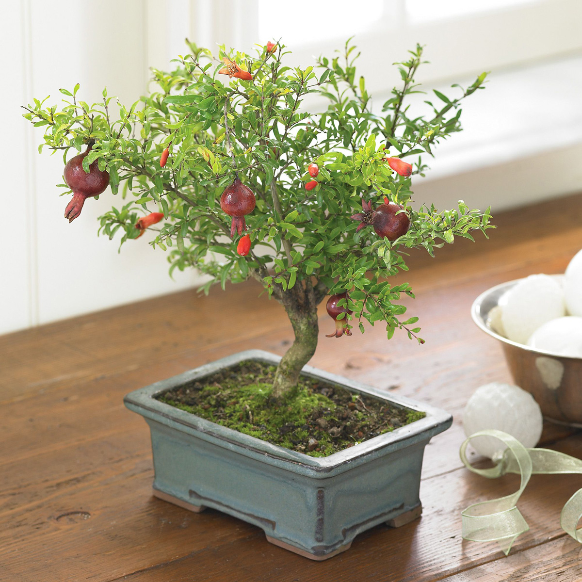 pomegranate bonsai tree  the green head, Natural flower