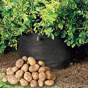 growing potatoes in tyres
