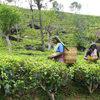 Ambassador Organics - Biodynamic Coffee, Tea and Spices