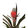 Brazilian Red Pineapple Plant