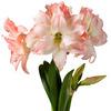 Glass Forcing Vase - Make Flower Bulbs Bloom In Any Season