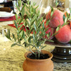 Mini European Olive Trees