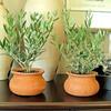 Mini European Olive Trees