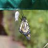 Monarch Butterfly Attracting Sanctuary
