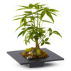 Money Tree - May Bring Good Luck, Good Fortune, and Prosperity