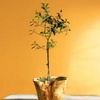 Organic Olive Tree Topiary in Root of the Earth Bowl
