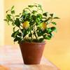 Organic Dwarf Meyer Lemon Tree