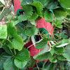 Strawberry Tree - Vertical Hanging Grow Bag