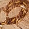 Termitat - Tabletop Termite Habitat