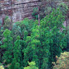 Wollemi Pine - 200 Million Year Old Plant Species