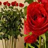 World's Tallest Red Roses